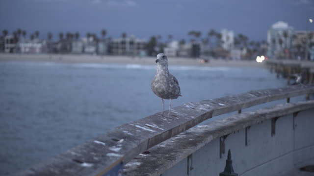 Seagull on California pier, close up