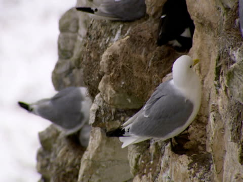 seagull, on cliff face, protection, safety, family - ベンプトン点の映像素材/bロール