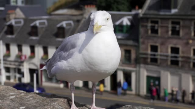 seagull on inverness - inverness scotland stock videos & royalty-free footage