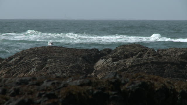seagull on rock shore next to sea - solid stock videos & royalty-free footage
