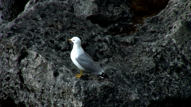 seagull on rock - named wilderness area stock videos & royalty-free footage