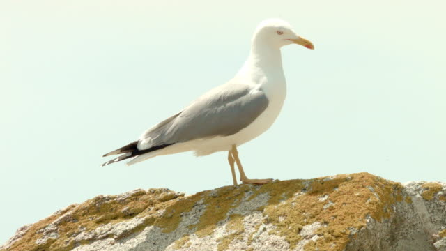 seagull on rock - seagull stock videos and b-roll footage