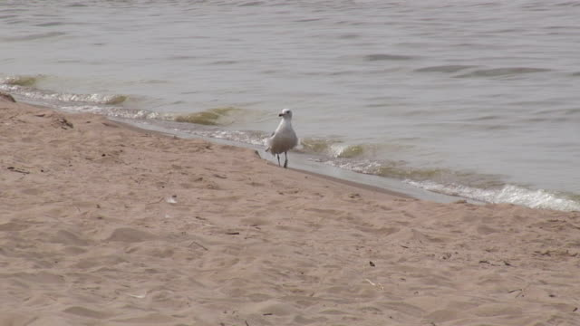seagull on the sandy beach 3 - hd 1080/60i - named wilderness area stock videos & royalty-free footage