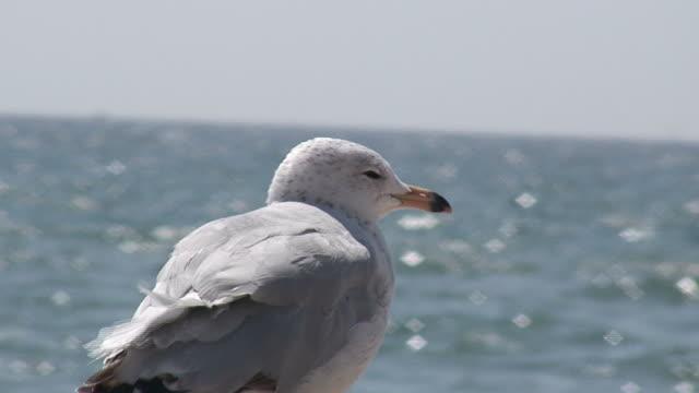 stockvideo's en b-roll-footage met seagull on water background - hd 1080/60i - dierlijke mond
