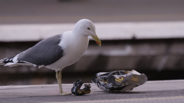 seagull (larus fuscus) pecks pasty wrapper on platform in temple meads train station, bristol, england - sea bird stock videos and b-roll footage