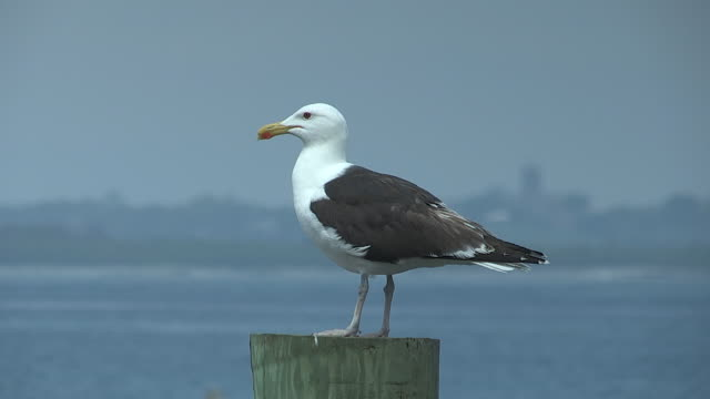 A seagull perches on a piling.