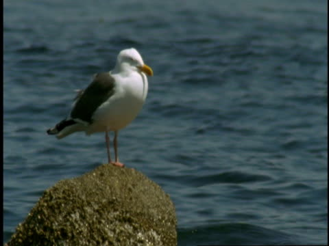a seagull perches on barnacle-covered rock in monterey bay. - barnacle stock videos & royalty-free footage