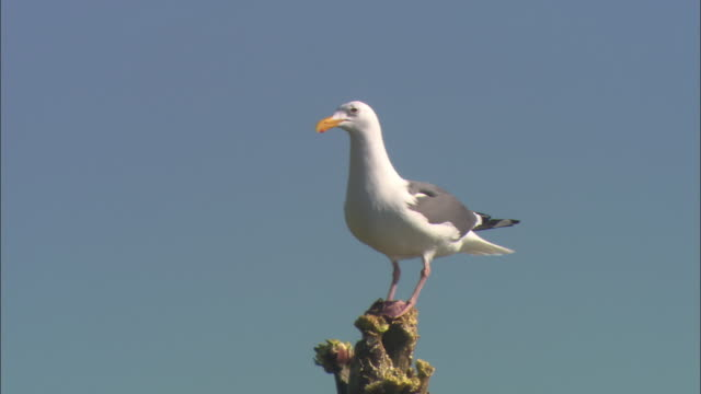 WS Seagull perching and shifting to keep balance on top of yucca against clear sky / San Francisco, California, USA