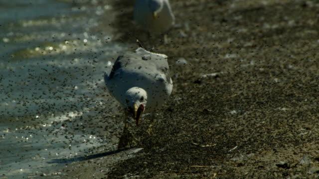 vídeos de stock e filmes b-roll de a seagull plods along the edge of the water. - ave marinha