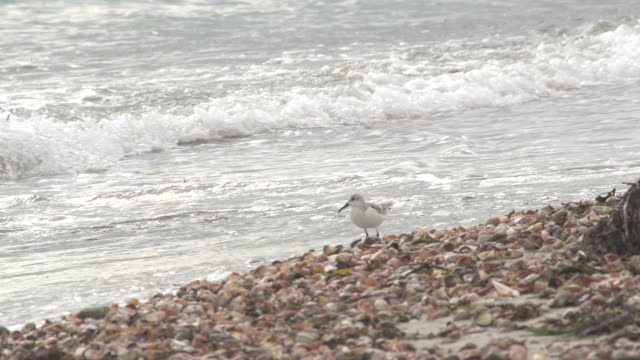 seagull prancing on shells on beach - pebble stock videos & royalty-free footage