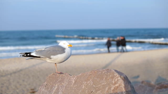 seagull resting and sunbathing on the rock - baltic sea stock videos and b-roll footage