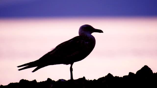 vídeos de stock, filmes e b-roll de silhueta de gaivota - sombra