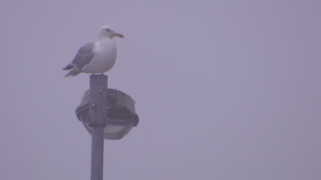 stockvideo's en b-roll-footage met a seagull sits on a lamppost on a very misty day in cobh, county cork, ireland. - meeuw