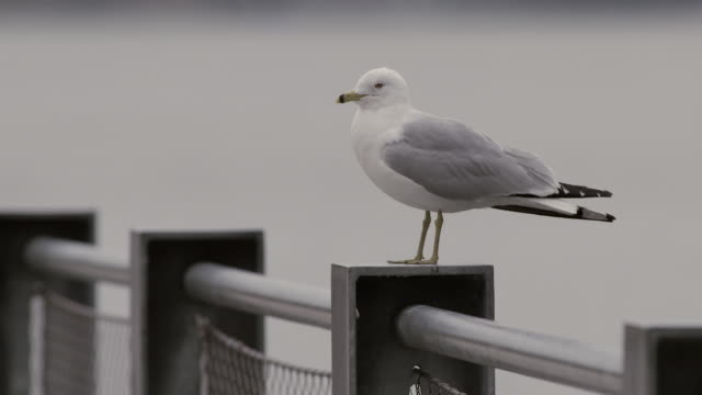 A seagull sits on a park railing.  He preens and moves his head back and forth.