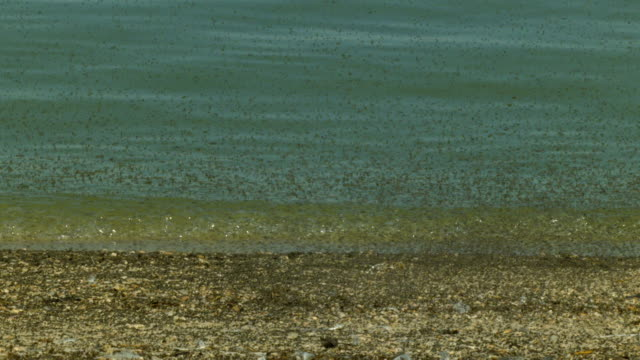 A seagull slowly walks along the shoreline in swarms of insects.