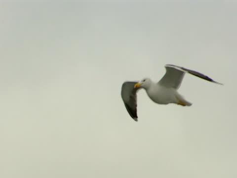 vídeos de stock e filmes b-roll de seagull, soaring, gliding, overcast, freedom - hébridas