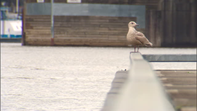 WS Seagull standing on top of banister of pier dock looking around Willamette River water docks BG OR