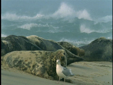 stockvideo's en b-roll-footage met a seagull stands among seals on sable island. - achterover leunen