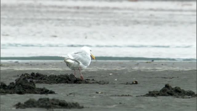 a seagull struts across a muddy estuary and finds mollusc shells. - futter suchen stock-videos und b-roll-filmmaterial