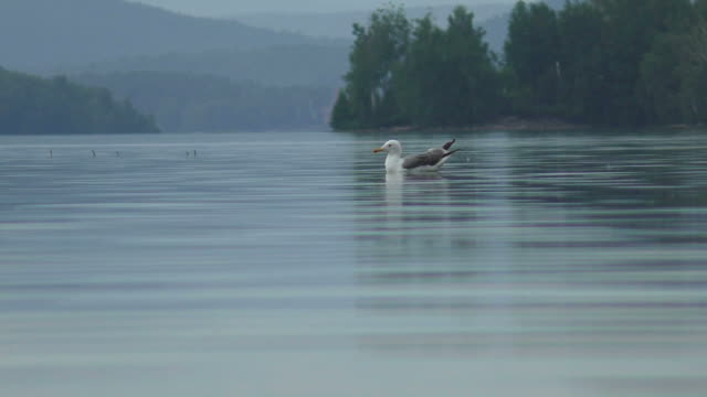 seagull swimming in the lake - sea water bird stock videos & royalty-free footage