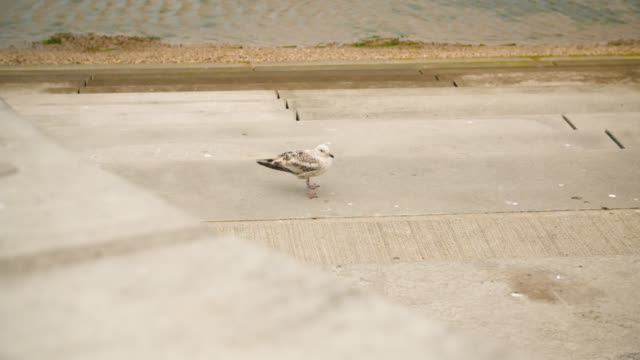 seagull takes flight from concrete steps - coastal feature stock videos & royalty-free footage