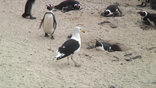 WS PAN ZI ZO Seagull trying to eat penguin egg, being repelled by penguin / Cape of Good Hope, South Africa