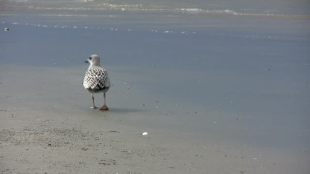 seagull walking on beach water - helgoland stock videos & royalty-free footage