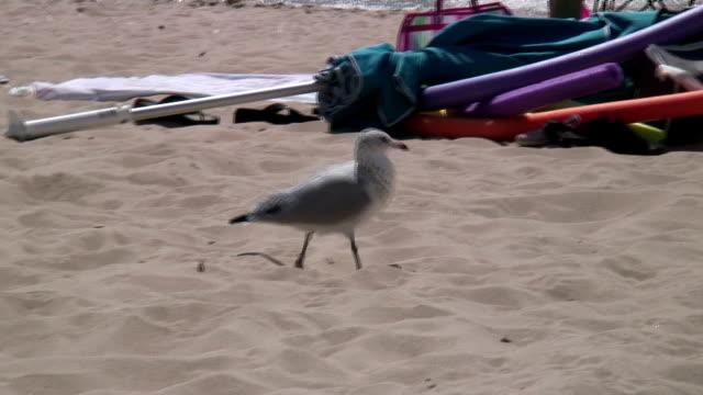 seagull walking sandy beach  1080/60i - wasservogel stock-videos und b-roll-filmmaterial