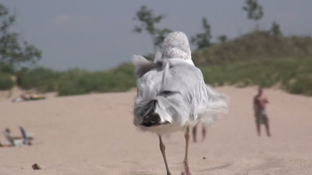 seagull walking sandy beach 5 - hd 1080/60i - medium group of people stock videos & royalty-free footage