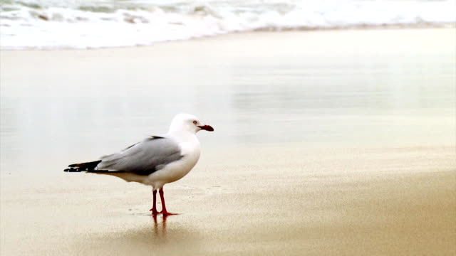 seagull - walks away (1080p) - seagull stock videos & royalty-free footage
