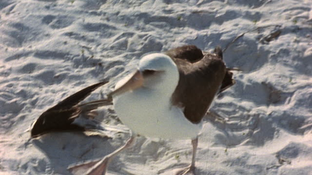 seagulls and other seabirds milling about and waddling across white sands and beach grass on shore - waddling stock videos and b-roll footage