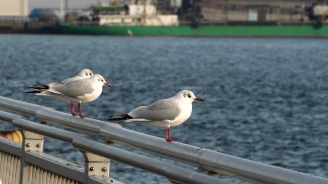 seagulls  around bay at sunset at nagoya, japan - seagull stock videos and b-roll footage