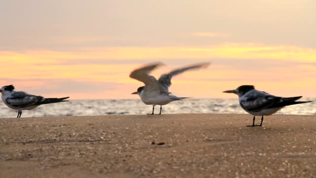 seagulls by the ocean at sunset - biodiversity stock videos & royalty-free footage