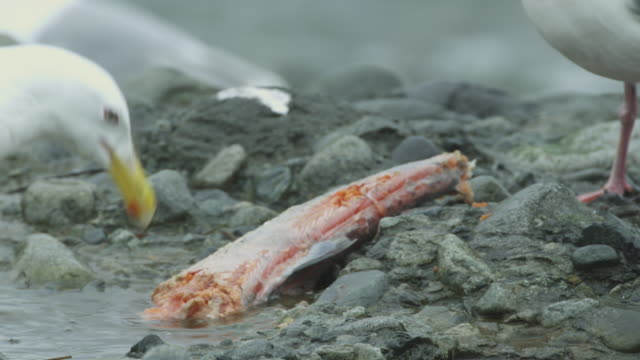 2 seagulls eating salmon carcass on river bank, alaska, 2011 - dead animal stock videos & royalty-free footage