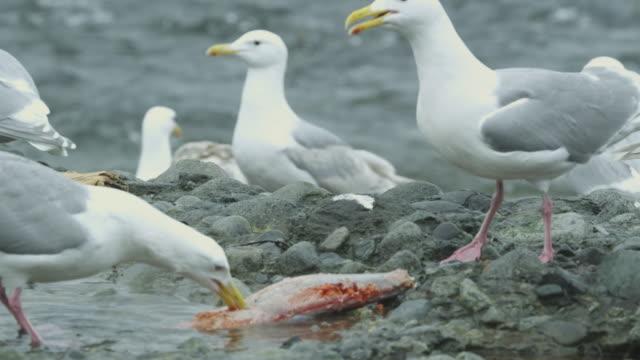 vidéos et rushes de 3 seagulls eating salmon carcass on river bank, alaska, 2011 - couleur argentée