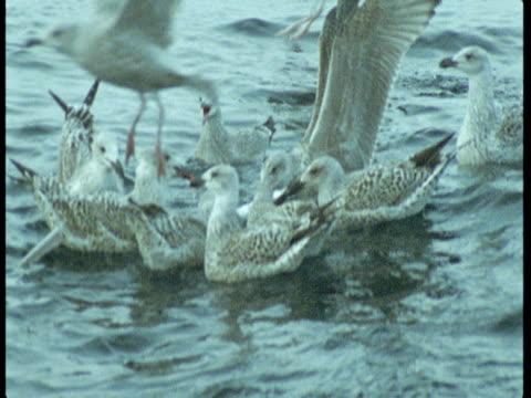 vídeos de stock e filmes b-roll de seagulls flap their wings to take off as one carries a fish in its beak. - boca de animal