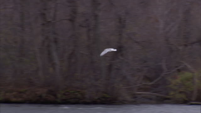seagulls fly above a river then dip into it at times - niagara falls stock videos & royalty-free footage