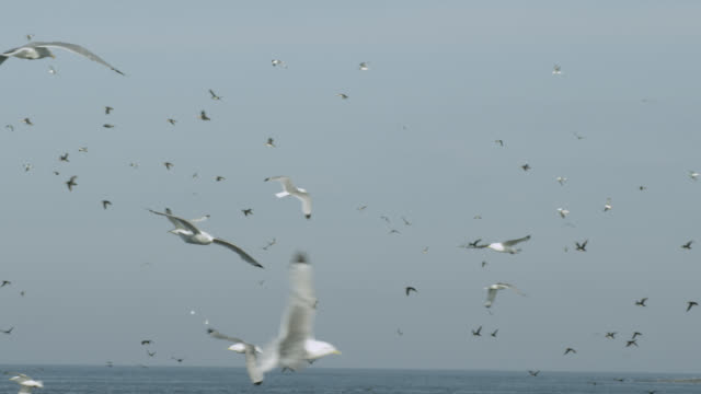 stockvideo's en b-roll-footage met seagulls fly over coast, farne islands, england - meeuw