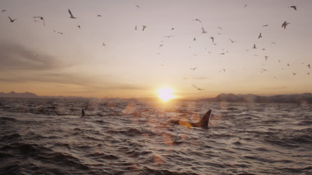 seagulls fly over hunting killer whales, norway - rückenflosse stock-videos und b-roll-filmmaterial