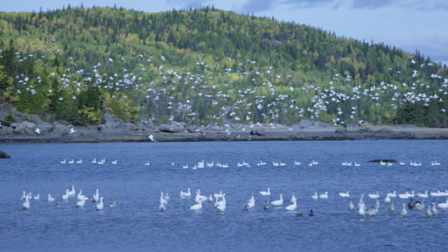 Seagulls flying above birds in St. Lawrence River
