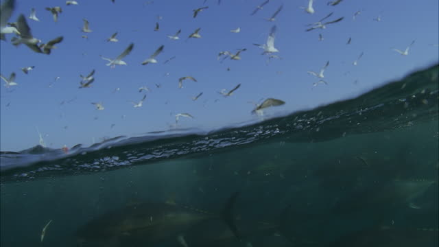 slo mo cu seagulls flying above water, large school of yellowfin tuna (thunnus albacares) swimming underwater / moorea, tahiti, french polynesia - tahiti video stock e b–roll