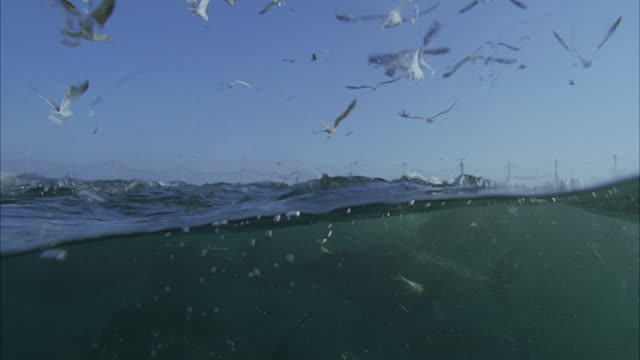 slo mo cu seagulls flying above water, large school of yellowfin tuna (thunnus albacares) swimming underwater / moorea, tahiti, french polynesia - insel tahiti stock-videos und b-roll-filmmaterial