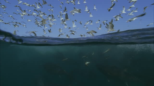 vídeos y material grabado en eventos de stock de slo mo cu seagulls flying above water, large school of yellowfin tuna (thunnus albacares) swimming underwater / moorea, tahiti, french polynesia - tahití