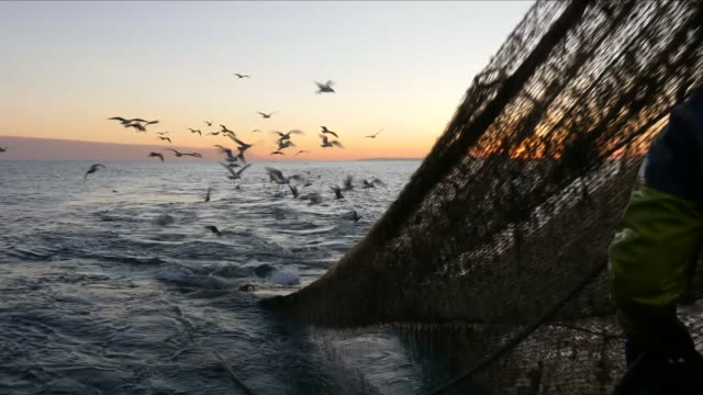 seagulls flying after fishing net - water bird stock videos & royalty-free footage