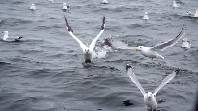 seagulls flying and diving in the sea - seagull stock videos & royalty-free footage