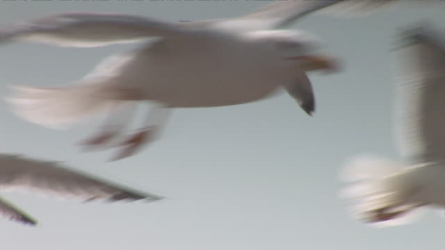 stockvideo's en b-roll-footage met cu seagulls flying / essaouira, morocco - meeuw