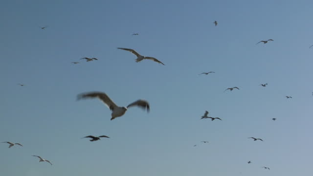 la ws seagulls flying/ morocco - low angle view video stock e b–roll