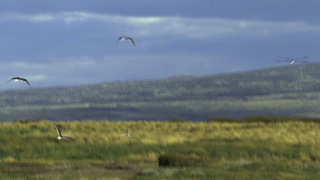 WS PAN Seagulls flying over landscape / Punta Arenas, Magallanes, Chile