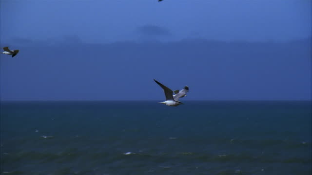 slo mo, pan seagulls flying over ocean - 水生生物 個影片檔及 b 捲影像