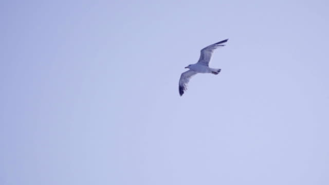 Seagulls flying - Slow Motion